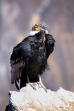 Andescondorzitting in Mirador Cruz del Condor in Colca-Canion royalty-vrije stock foto's