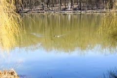 Andfamiljen på parkerar sjön i en solig vårdag royaltyfria bilder