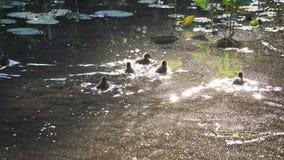 Andfamiljen simmar i ett lotusblommadamm arkivfilmer