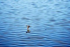 andflyg över vatten Fotografering för Bildbyråer