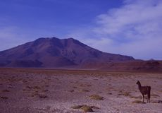 Andines :喇嘛在玻利维亚的saltlake沙漠 库存图片