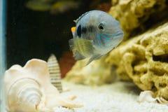 Andinoacara rivulatus,  (Бирюзовая акара) -2. Photo of exotic fish in home aquarium Stock Photos