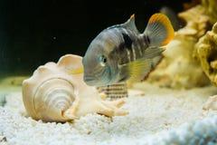 Andinoacara rivulatus,  (Бирюзовая акара). Photo of exotic fish in home aquarium Royalty Free Stock Images