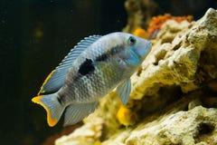 Andinoacara rivulatus, female (Самка бирюзовой а. Photo of exotic fish in home aquarium Stock Photography