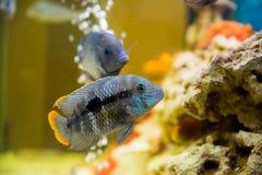 Andinoacara rivulatus, female (Самка бирюзовой а. Photo of exotic fish in home aquarium Royalty Free Stock Photo