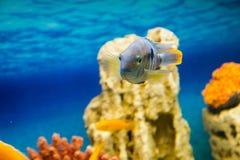 Andinoacara rivulatus, female. Photo of exotic fish in home aquarium Royalty Free Stock Images