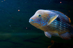Andinoacara rivulatus, male (Самец бирюзовой ак. Photo of exotic fish in home aquarium Stock Photography