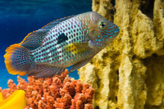 Andinoacara rivulatus, male (Самец бирюзовой ак. Photo of exotic fish in home aquarium Stock Photo