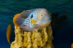 Andinoacara rivulatus, male (Самец бирюзовой ак. Photo of exotic fish in home aquarium Royalty Free Stock Photography