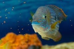 Andinoacara rivulatus, male (Самец бирюзовой ак. Photo of exotic fish in home aquarium Royalty Free Stock Photos