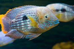 Andinoacara rivulatus, male (Самец бирюзовой ак. Photo of exotic fish in home aquarium Royalty Free Stock Images