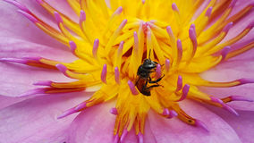 andlotus de la abeja en jardín Foto de archivo libre de regalías