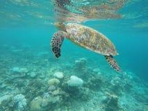 Andning för havssköldpadda Royaltyfri Bild