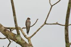 Andorinha Áspero-voada do norte que olha sobre o ombro fotografia de stock