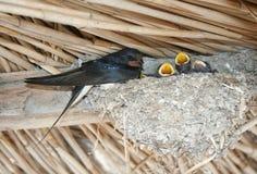 A andorinha alimenta os pintainhos no ninho Imagens de Stock