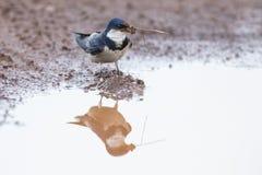 a andorinha Branco-throated senta-se na associação de água enlameada para obter a lama Imagens de Stock Royalty Free