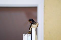 Andorinha com galhos Foto de Stock Royalty Free