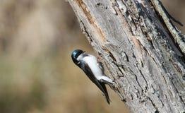 Andorinha de árvore Fotos de Stock