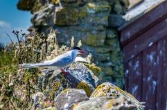 Andorinha-do-mar árctica Fotos de Stock Royalty Free