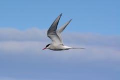 Andorinha-do-mar ártica de voo Imagem de Stock