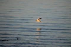 Andorinha-do-mar Cáspio imagens de stock