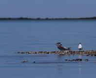 Andorinha-do-mar Cáspio imagem de stock royalty free