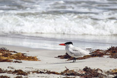 Andorinha-do-mar Cáspio (caspia de Hydroprogne) Fotos de Stock Royalty Free
