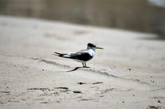 Andorinha-do-mar com crista fotografia de stock royalty free