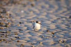 Andorinha-do-mar comum na areia Imagens de Stock Royalty Free