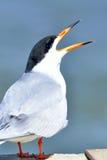 Andorinha-do-mar de Forster Imagens de Stock Royalty Free