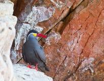 Andorinha-do-mar do Inca Foto de Stock