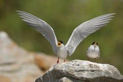 Andorinha-do-mar do rio Imagem de Stock Royalty Free