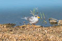 Andorinha-do-mar do rio Foto de Stock