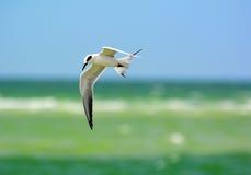 Andorinha-do-mar em Florida Imagem de Stock Royalty Free