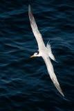Andorinha-do-mar em voo Imagem de Stock