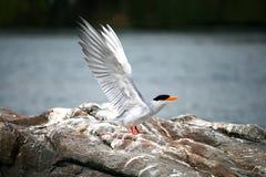 Andorinha-do-mar indiana do rio Imagens de Stock Royalty Free