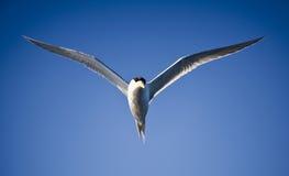 Andorinha-do-mar no vôo, vôo do pássaro de mar através do céu azul Imagens de Stock Royalty Free