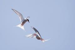Andorinha-do-mar no vôo Imagens de Stock