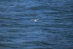 A andorinha-do-mar pequena está voando sobre o mar imagem de stock