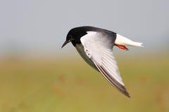 Andorinha-do-mar preta voada branca fotos de stock royalty free