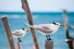 Andorinha-do-mar real Imagem de Stock