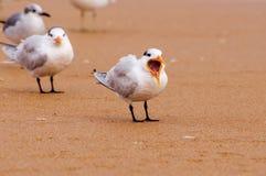 Andorinha-do-mar real que boceja Imagem de Stock Royalty Free