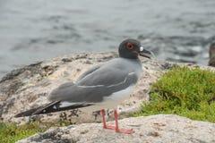 Andorinha - gaivota atada Fotografia de Stock Royalty Free