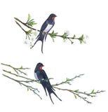 Andorinha na árvore de salgueiro Ilustrações desenhadas mão Imagens de Stock Royalty Free