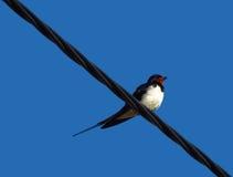 Andorinha - pássaro em um fio Fotos de Stock