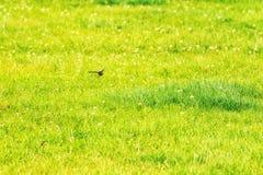 Andorinha que voa rapidamente sobre o campo Fotos de Stock Royalty Free
