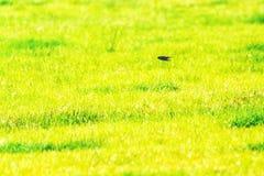 Andorinha que voa rapidamente sobre o campo Imagem de Stock Royalty Free