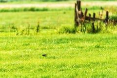 Andorinha que voa rapidamente sobre o campo Fotos de Stock