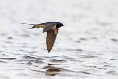 Andorinha sobre a água com reflexão foto de stock royalty free