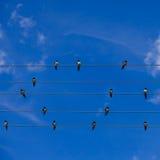 andorinhas Imagem de Stock